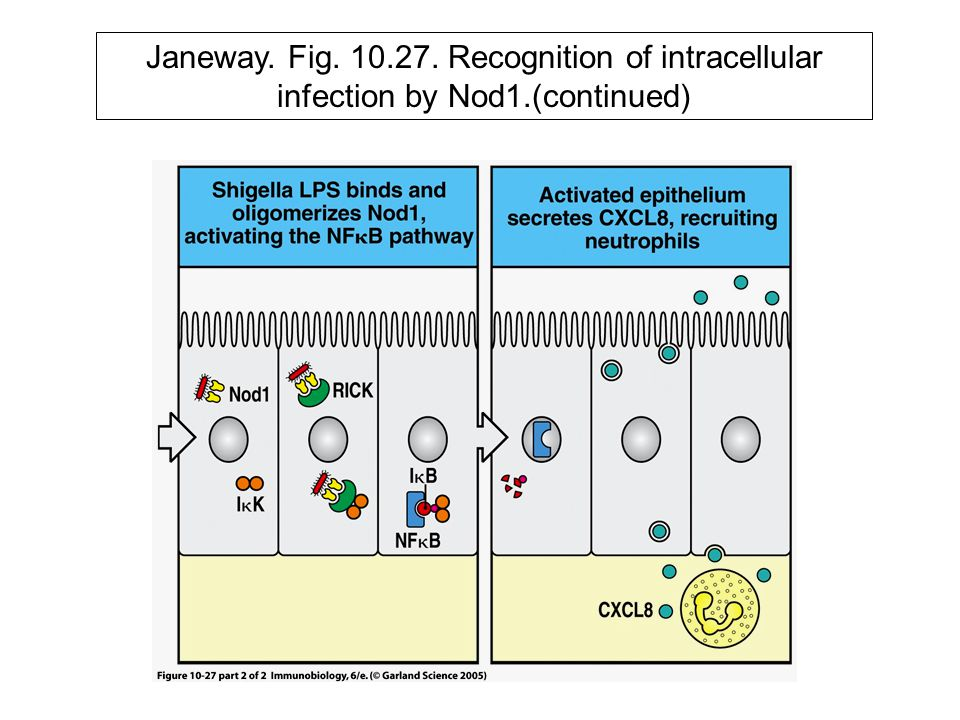 Janeway. Fig. 10. 27. Recognition of intracellular infection by Nod1