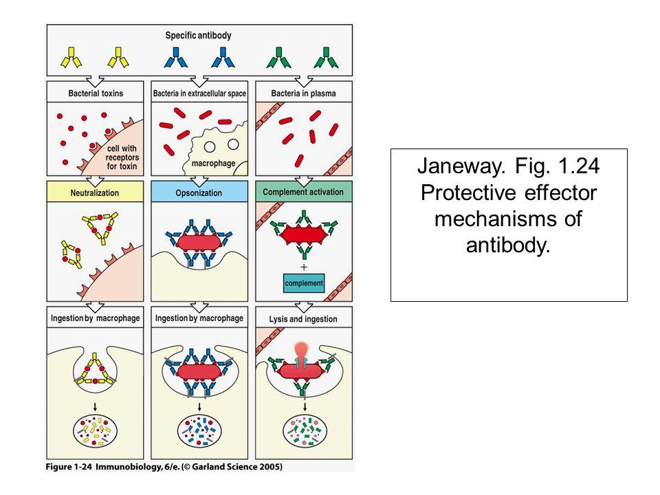 Janeway. Fig. 1.24 Protective effector mechanisms of antibody.
