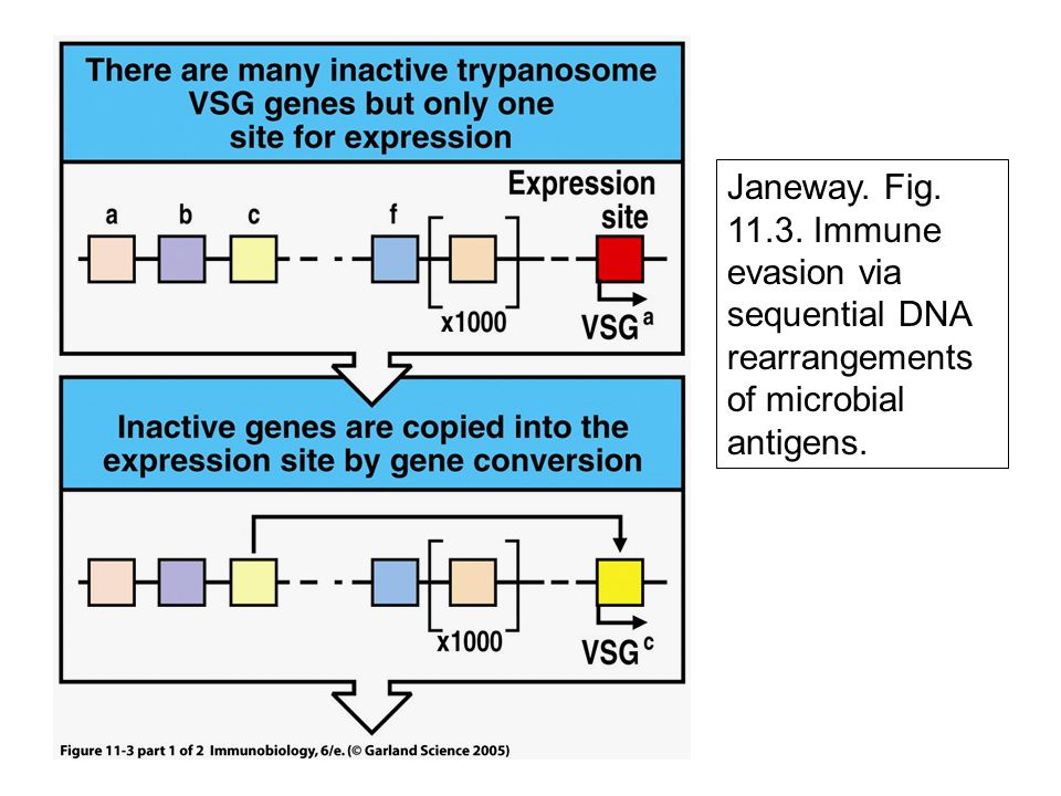 Janeway. Fig. 11.3. Immune evasion via sequential DNA rearrangements of microbial antigens.