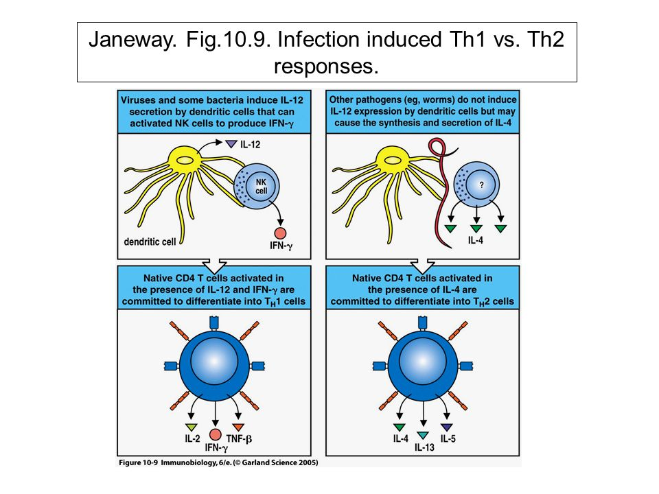 Janeway. Fig.10.9. Infection induced Th1 vs. Th2 responses.