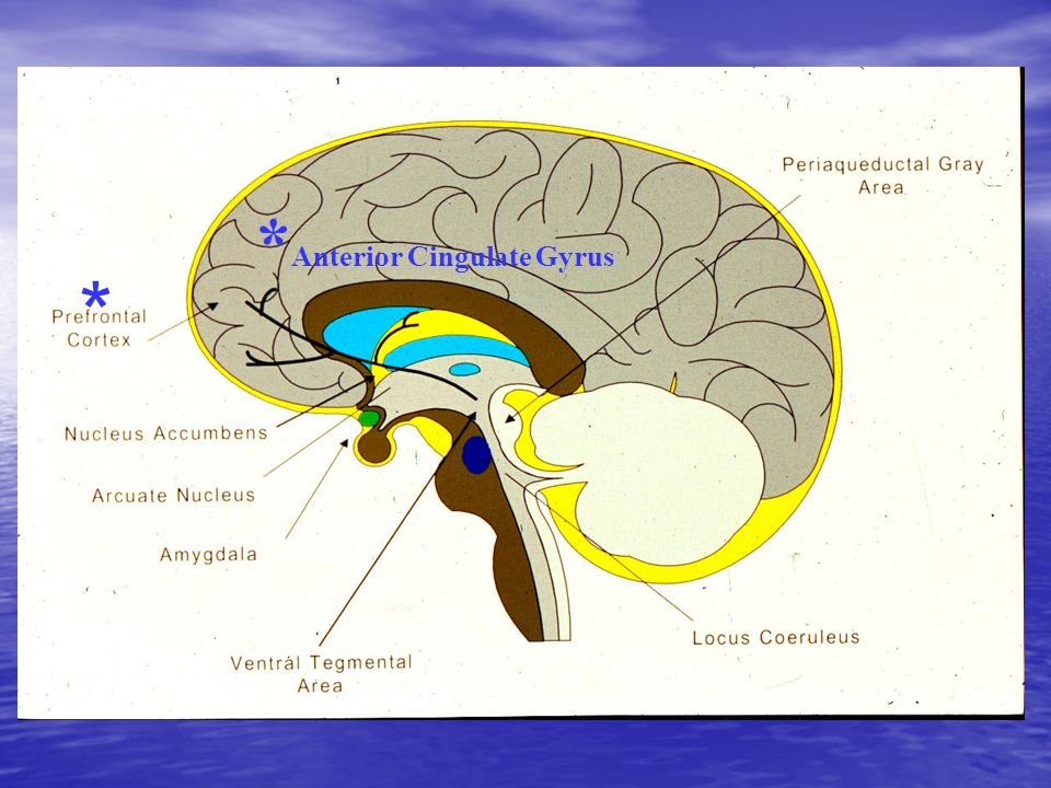 *Anterior Cingulate Gyrus