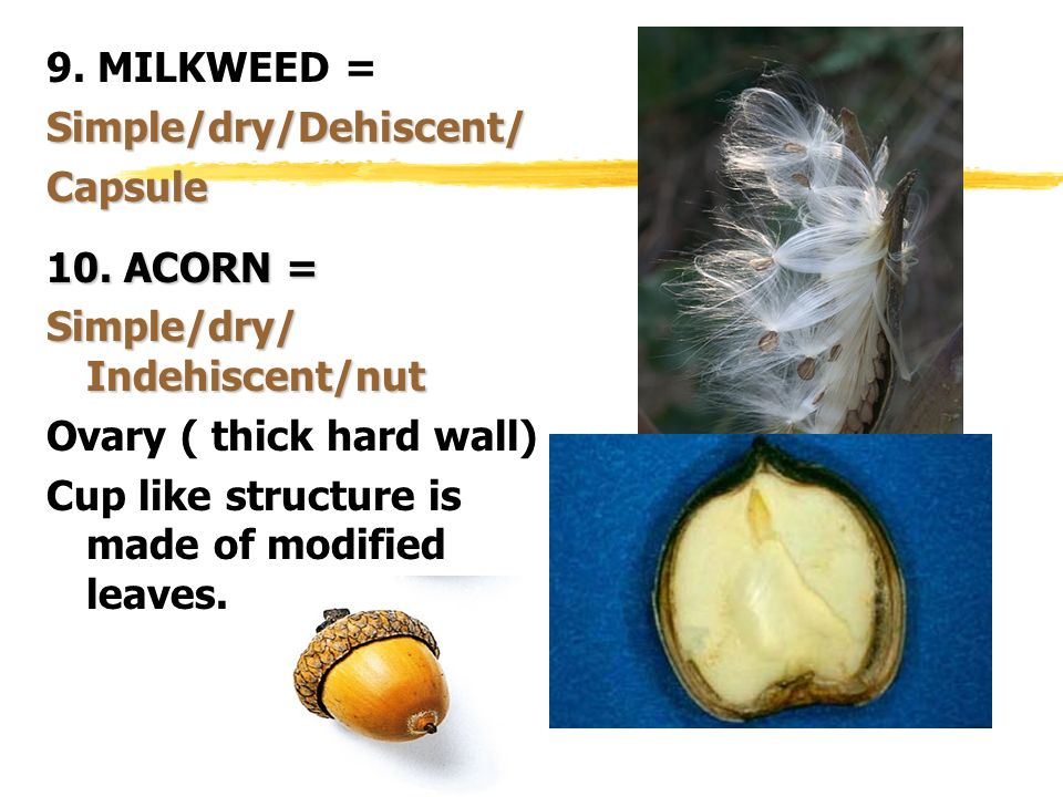 9. MILKWEED = Simple/dry/Dehiscent/ Capsule. 10. ACORN = Simple/dry/ Indehiscent/nut. Ovary ( thick hard wall)