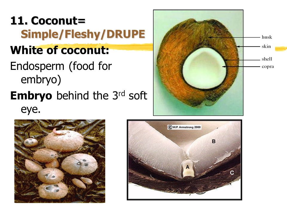 11. Coconut= Simple/Fleshy/DRUPE