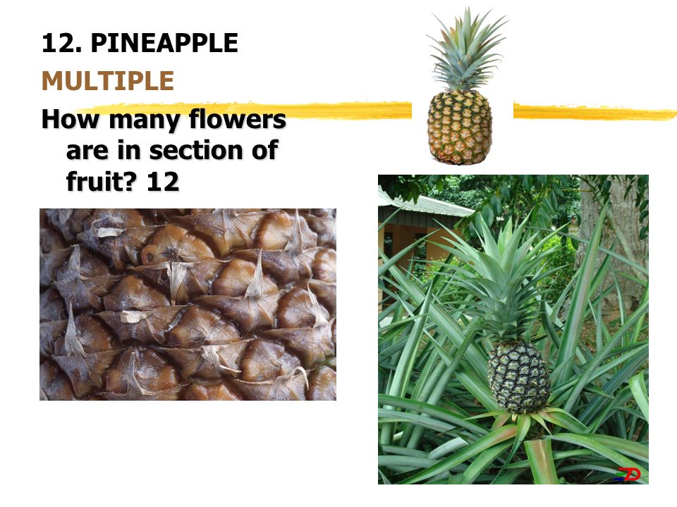 12. PINEAPPLE MULTIPLE How many flowers are in section of fruit 12
