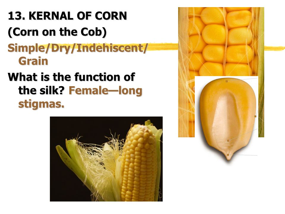 13. KERNAL OF CORN (Corn on the Cob) Simple/Dry/Indehiscent/Grain.