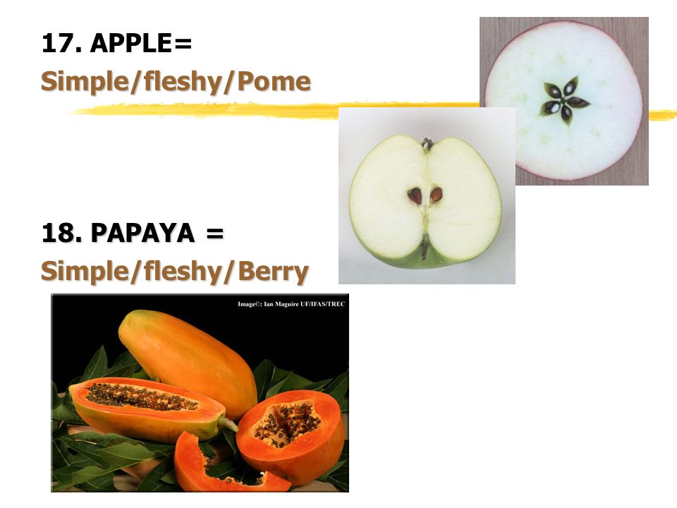 17. APPLE= Simple/fleshy/Pome 18. PAPAYA = Simple/fleshy/Berry