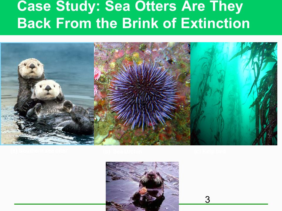 Case Study: Sea Otters Are They Back From the Brink of Extinction