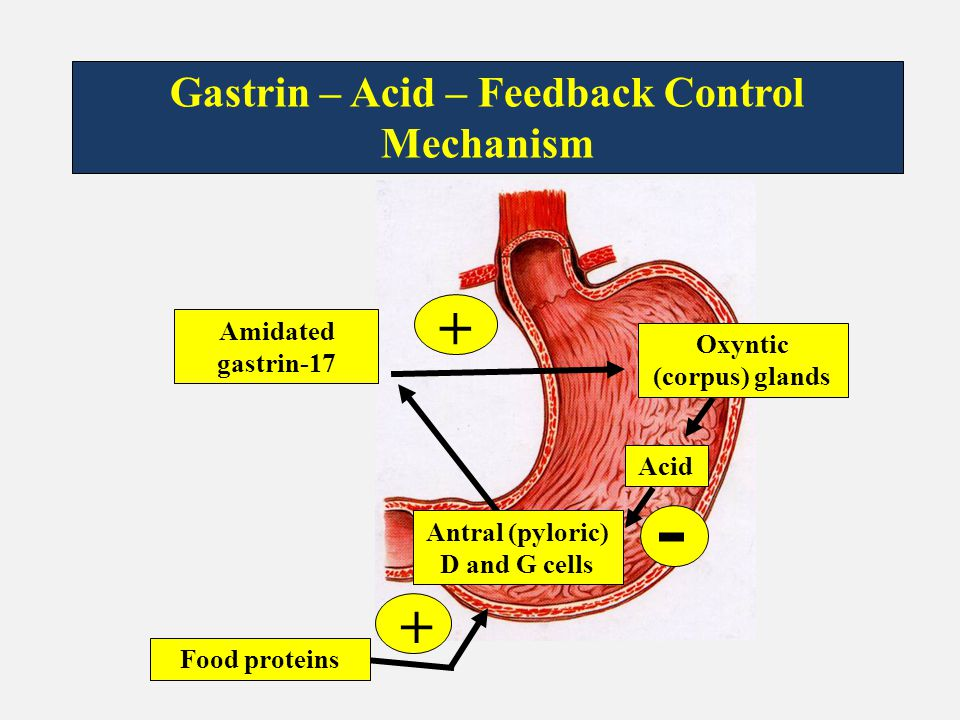 - + + Gastrin – Acid – Feedback Control Mechanism Amidated gastrin-17