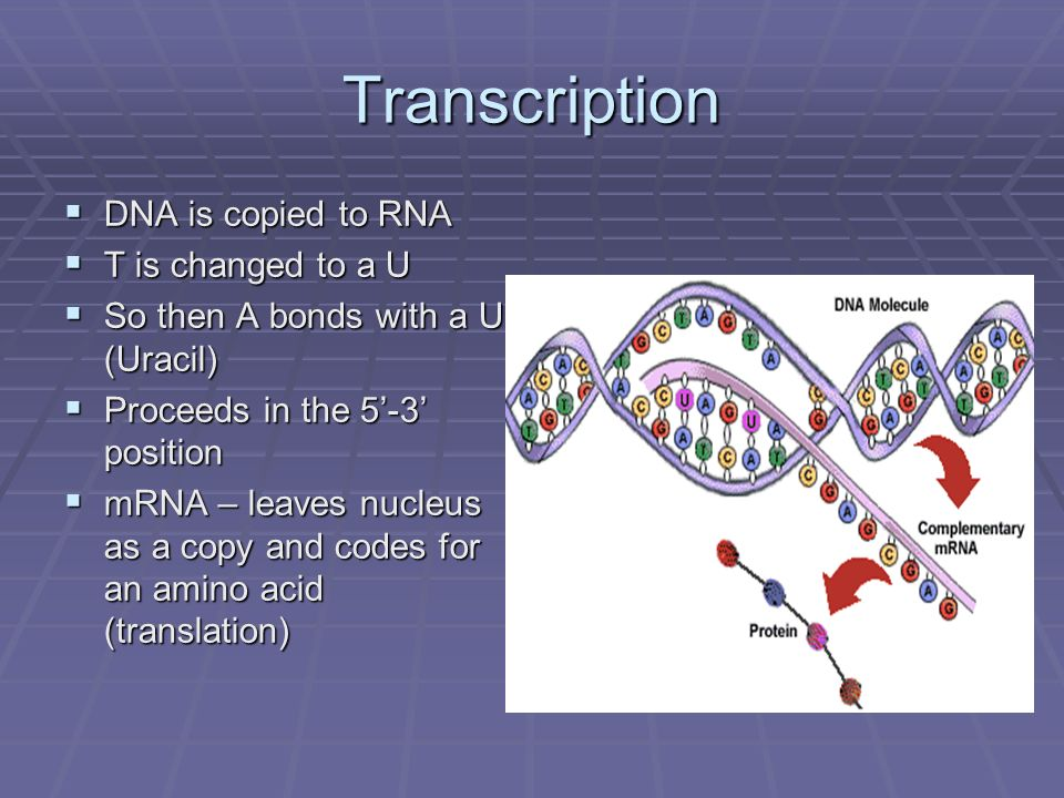 Transcription DNA is copied to RNA T is changed to a U