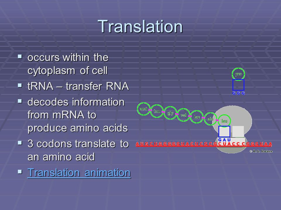 Translation occurs within the cytoplasm of cell tRNA – transfer RNA