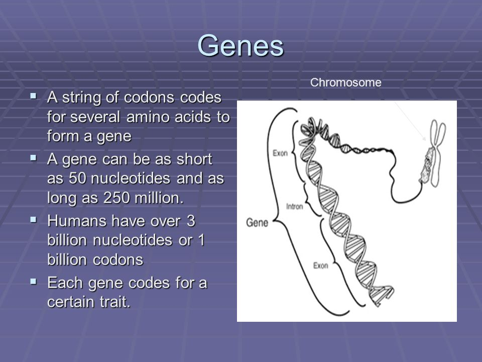 Genes A string of codons codes for several amino acids to form a gene