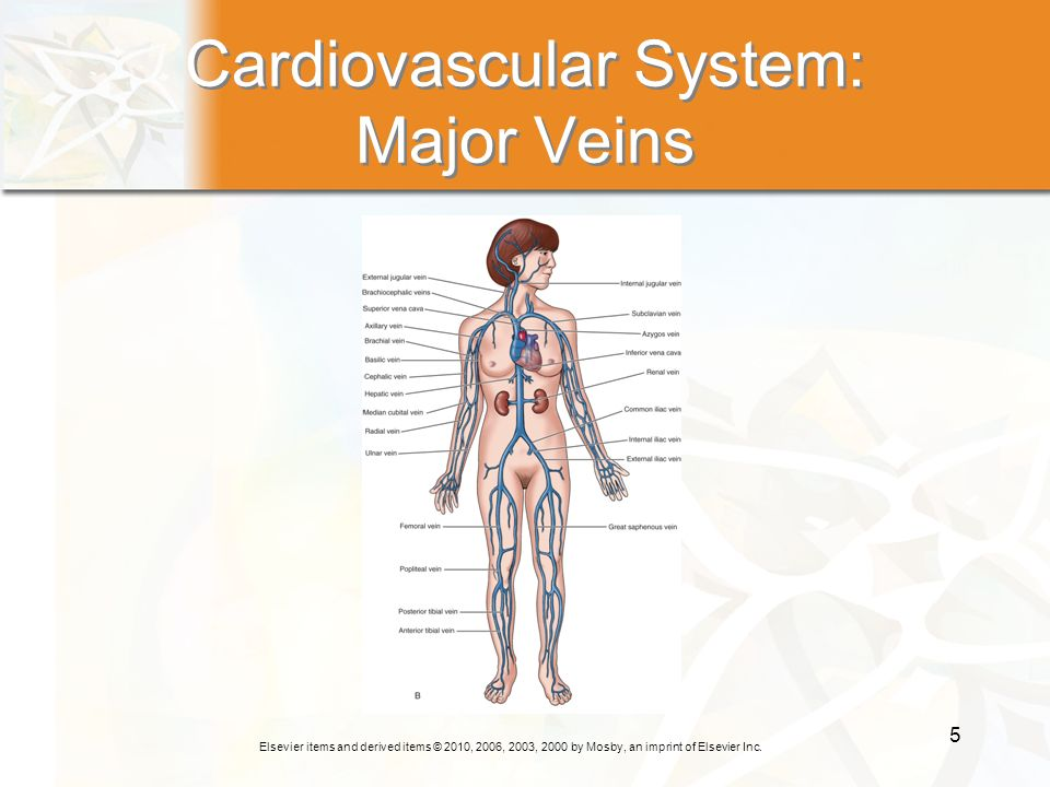 Cardiovascular System: Major Veins