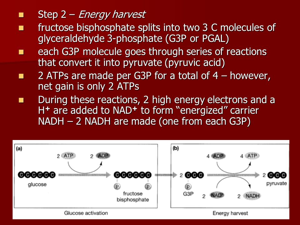 Step 2 – Energy harvest fructose bisphosphate splits into two 3 C molecules of glyceraldehyde 3-phosphate (G3P or PGAL)