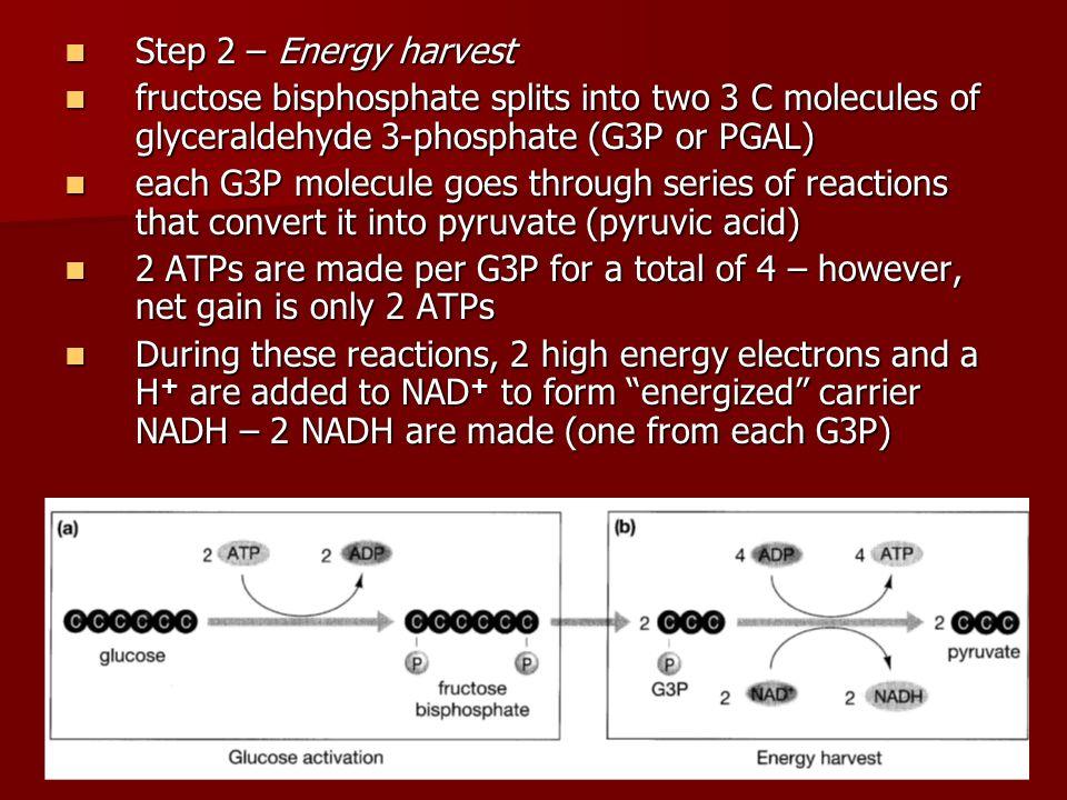 Step 2 – Energy harvestfructose bisphosphate splits into two 3 C molecules of glyceraldehyde 3-phosphate (G3P or PGAL)