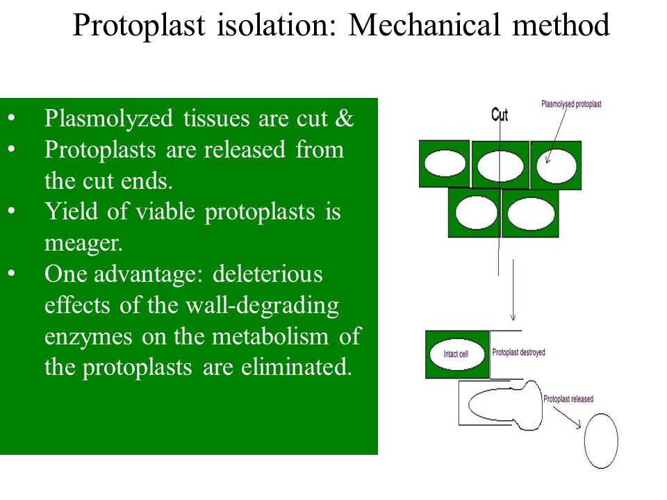 Protoplast isolation: Mechanical method