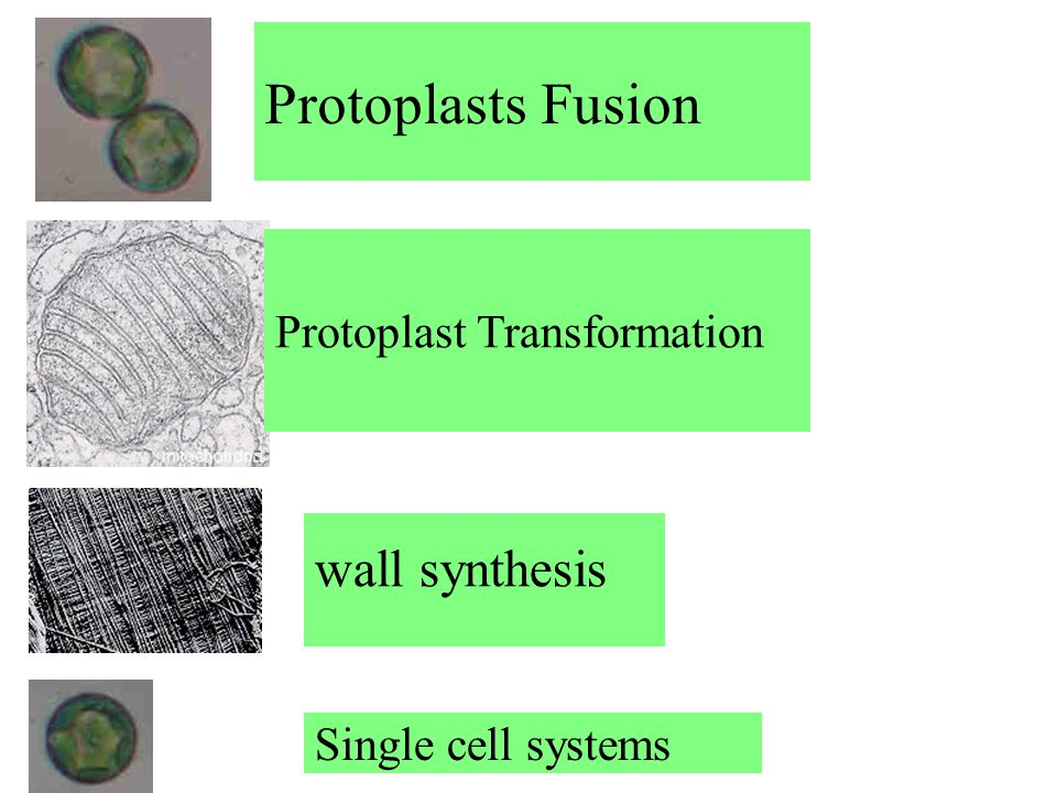 Protoplasts Fusion wall synthesis Protoplast Transformation