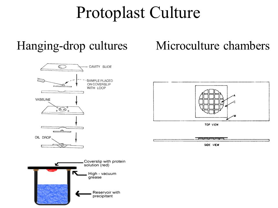 Protoplast Culture Hanging-drop cultures Microculture chambers