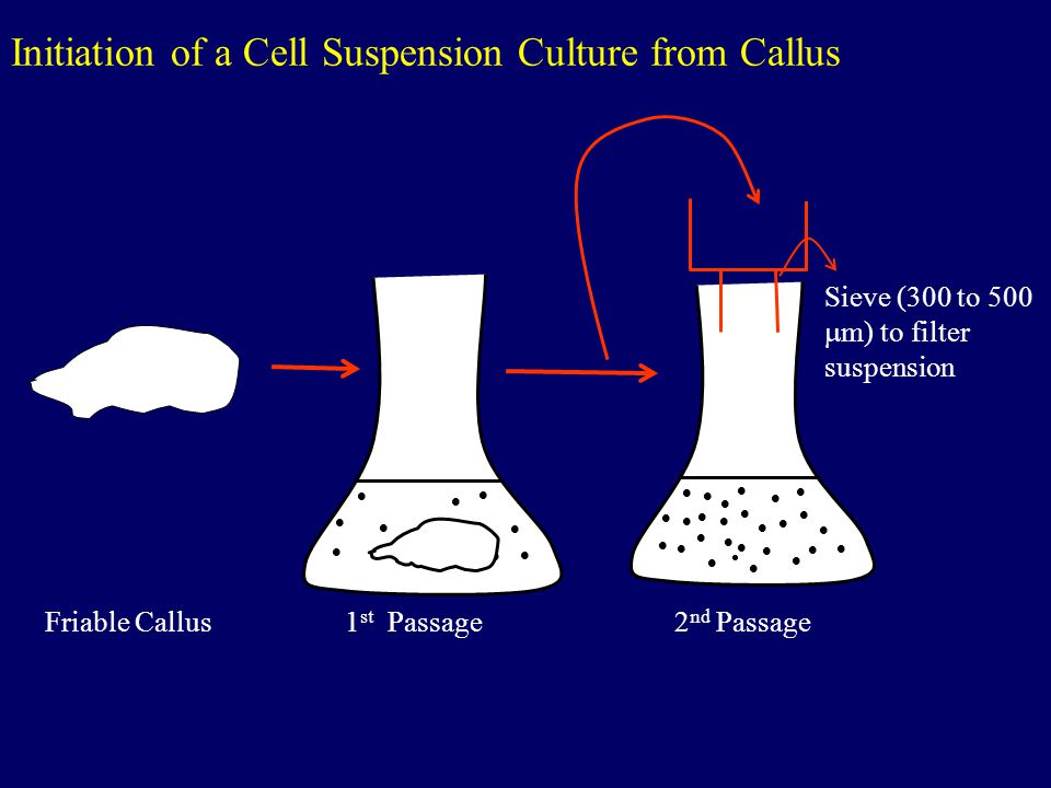 Initiation of a Cell Suspension Culture from Callus