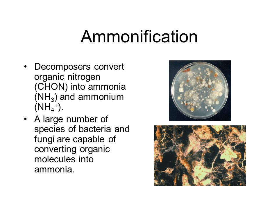 Ammonification Decomposers convert organic nitrogen (CHON) into ammonia (NH3) and ammonium (NH4+).