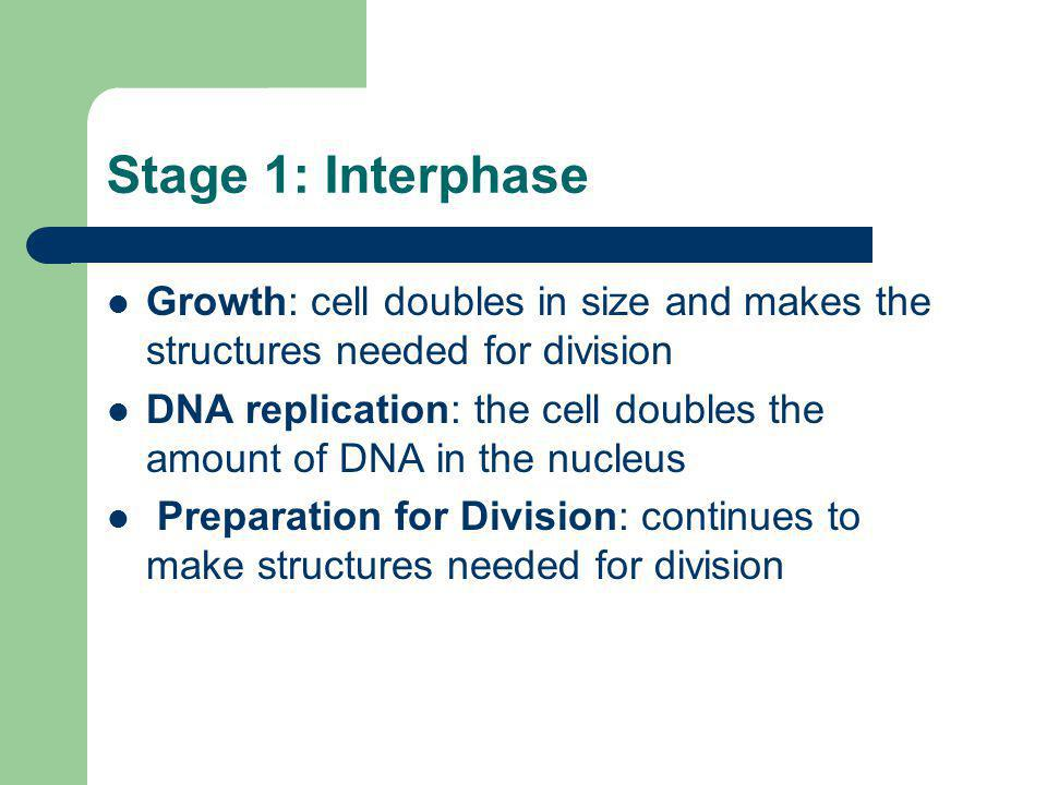 Stage 1: Interphase Growth: cell doubles in size and makes the structures needed for division.