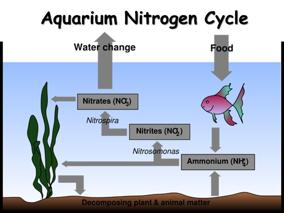Aquarium Nitrogen Cycle
