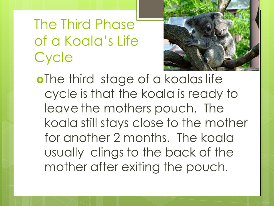 The Third Phase of a Koala's Life Cycle