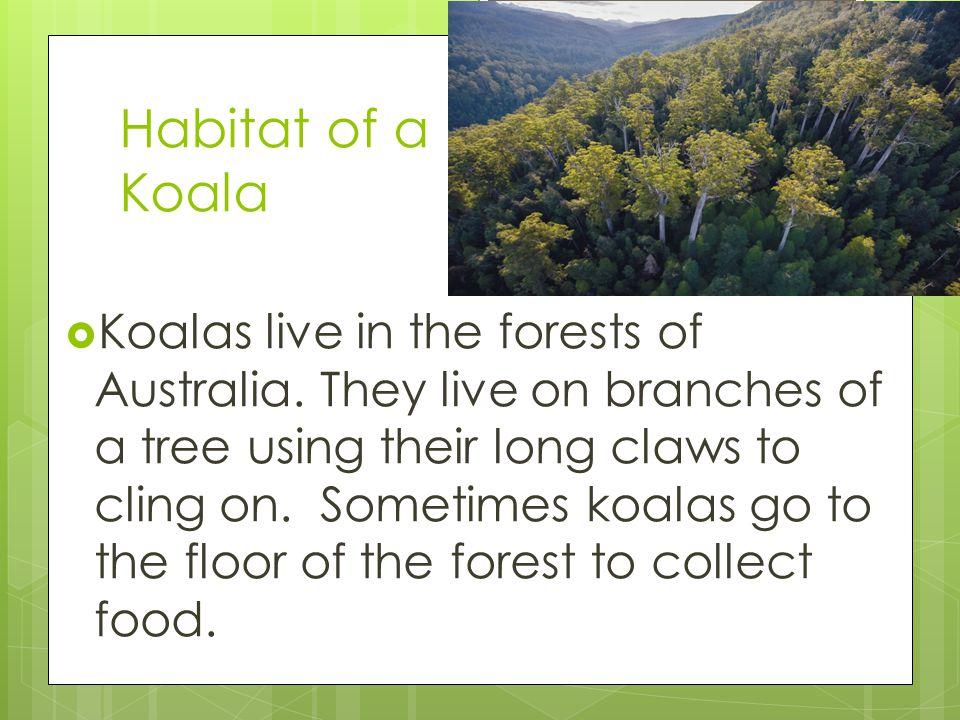 Habitat of a Koala