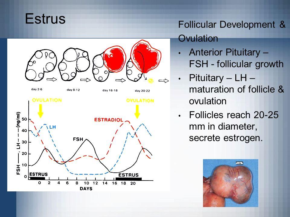 Estrus Follicular Development & Ovulation
