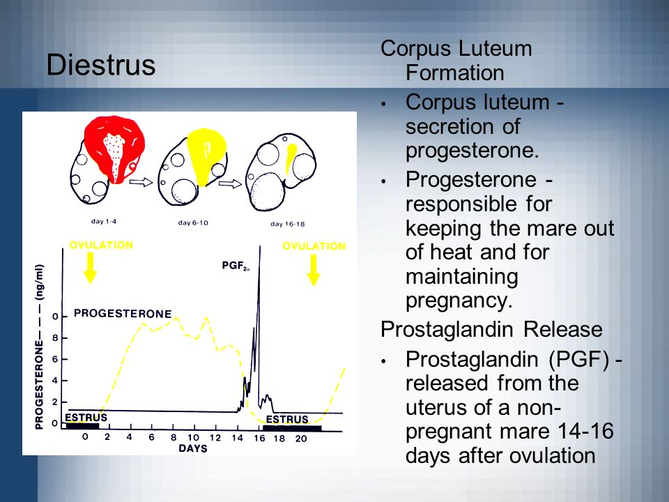 Diestrus Corpus Luteum Formation