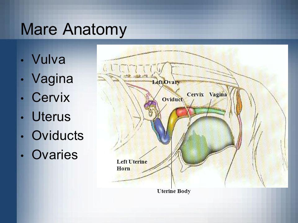 Mare Anatomy Vulva Vagina Cervix Uterus Oviducts Ovaries Left Ovary