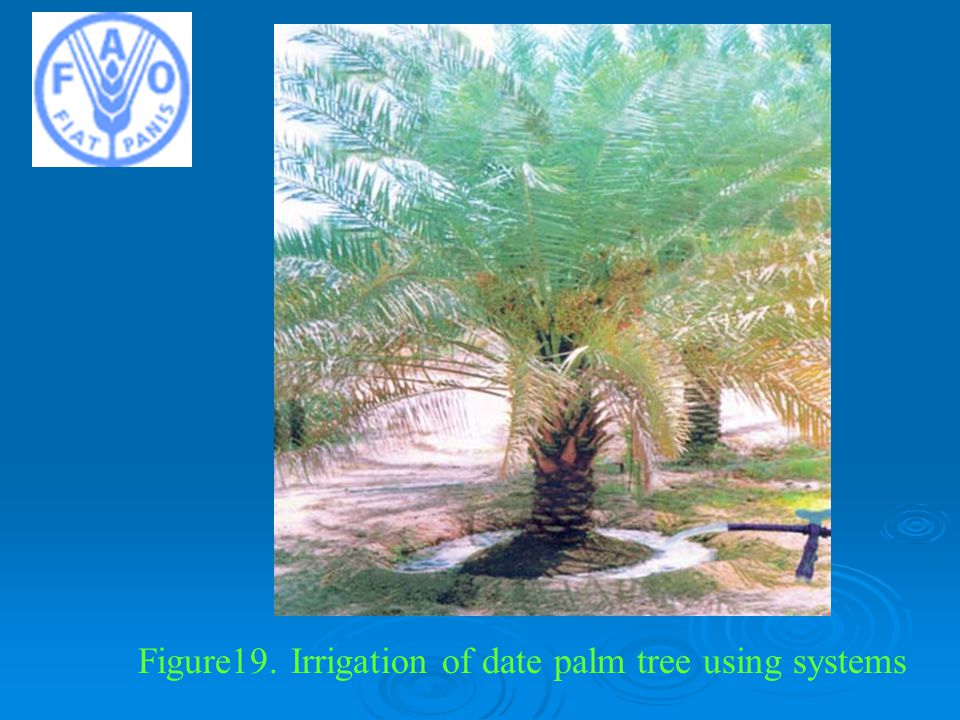 Figure19. Irrigation of date palm tree using systems