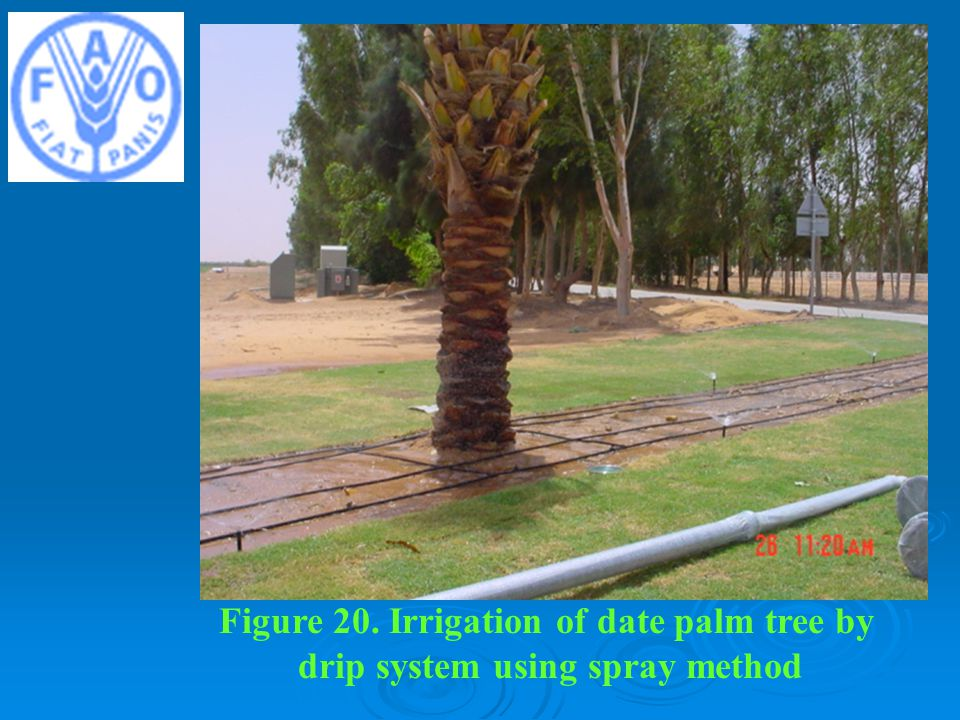 Figure 20. Irrigation of date palm tree by