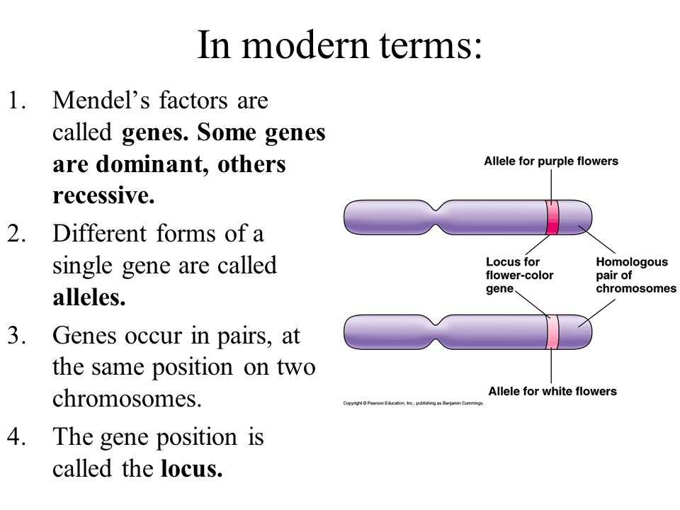 In modern terms: Mendel's factors are called genes. Some genes are dominant, others recessive. Different forms of a single gene are called alleles.