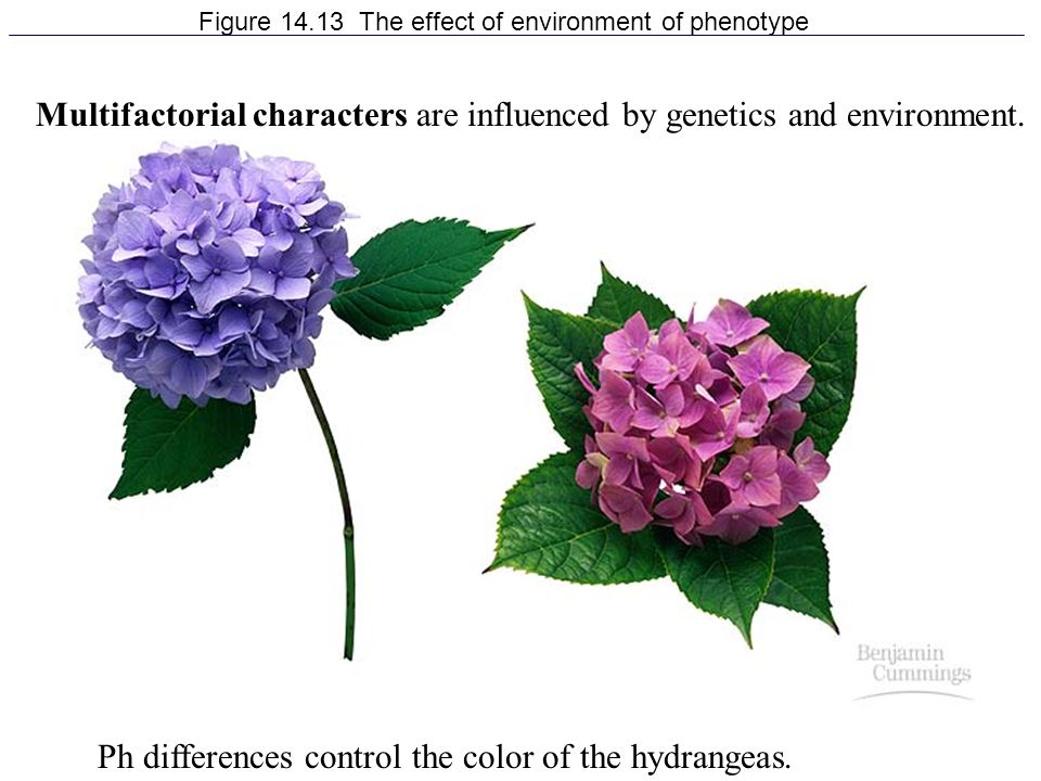 Figure 14.13 The effect of environment of phenotype