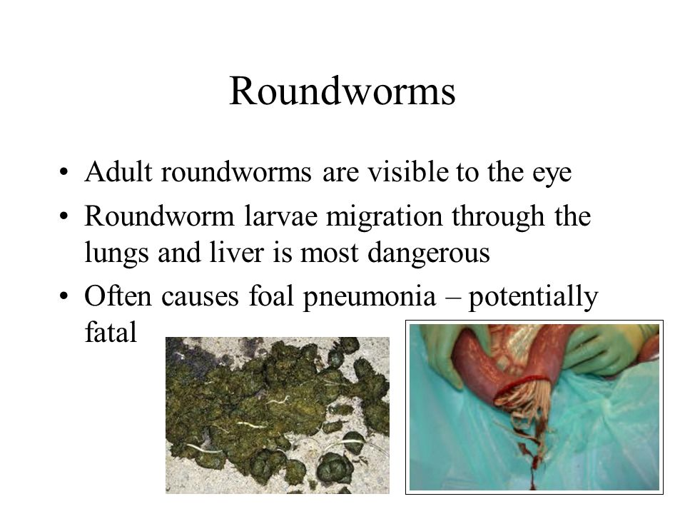 Roundworms Adult roundworms are visible to the eye