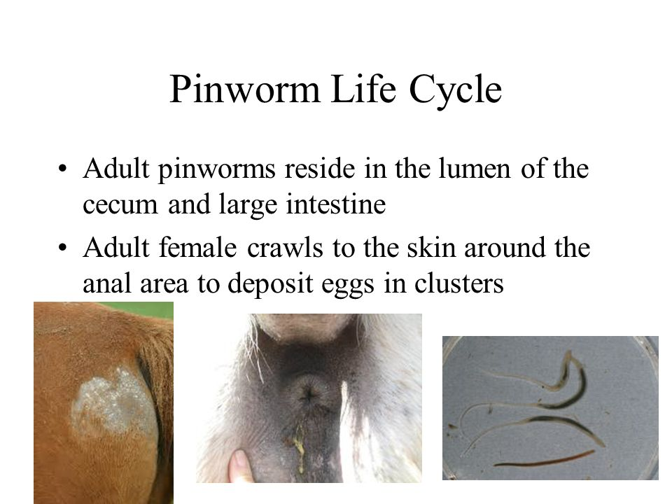 Pinworm Life Cycle Adult pinworms reside in the lumen of the cecum and large intestine.