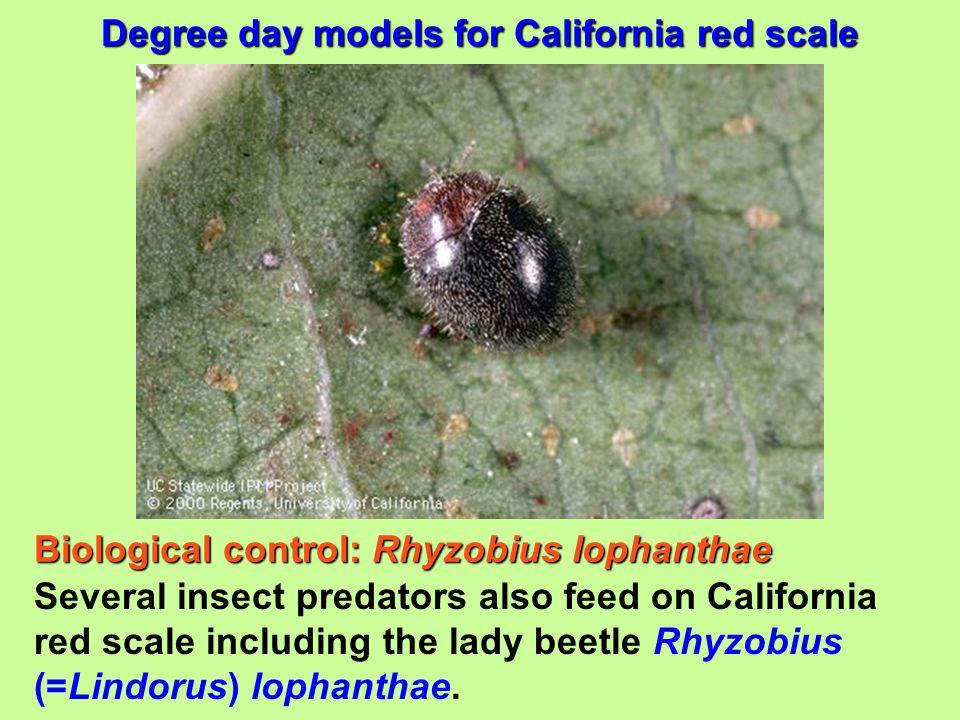 Biological control: Rhyzobius lophanthae