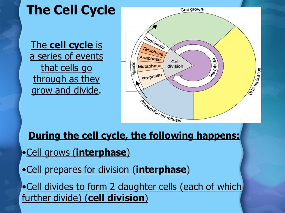 During the cell cycle, the following happens: