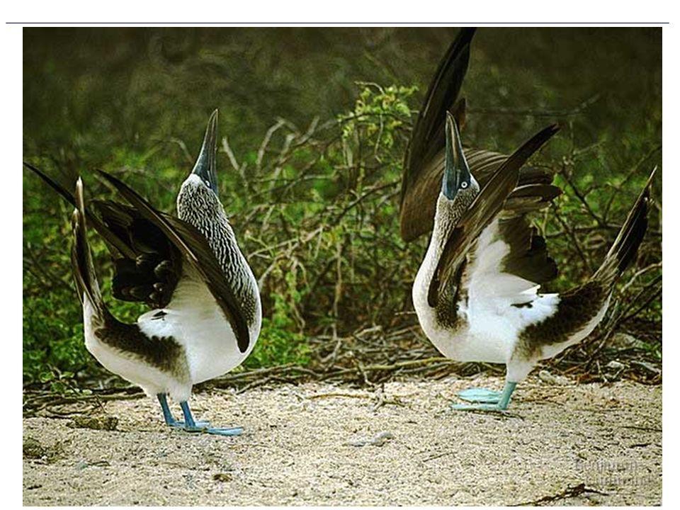 Figure 24.3 Courtship ritual as a behavioral barrier between species