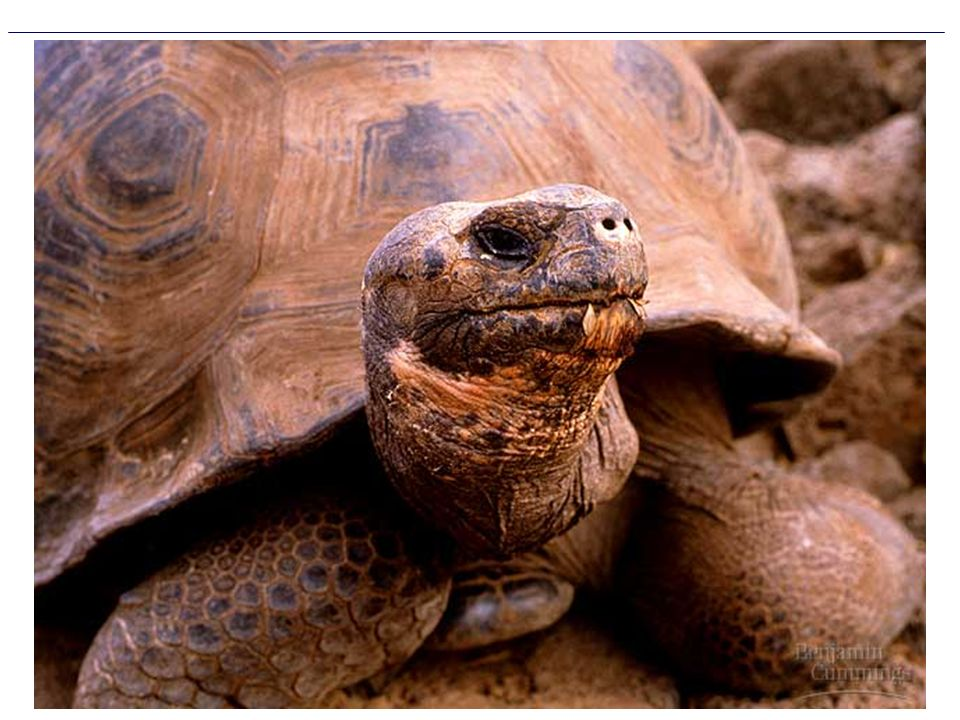 Figure 24.0 A Galápagos Islands tortoise