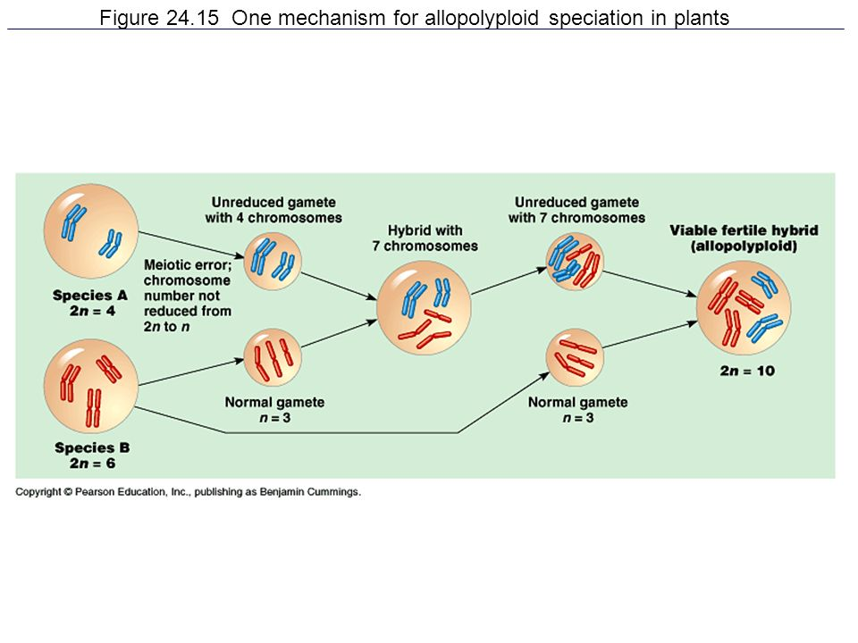 Figure 24.15 One mechanism for allopolyploid speciation in plants