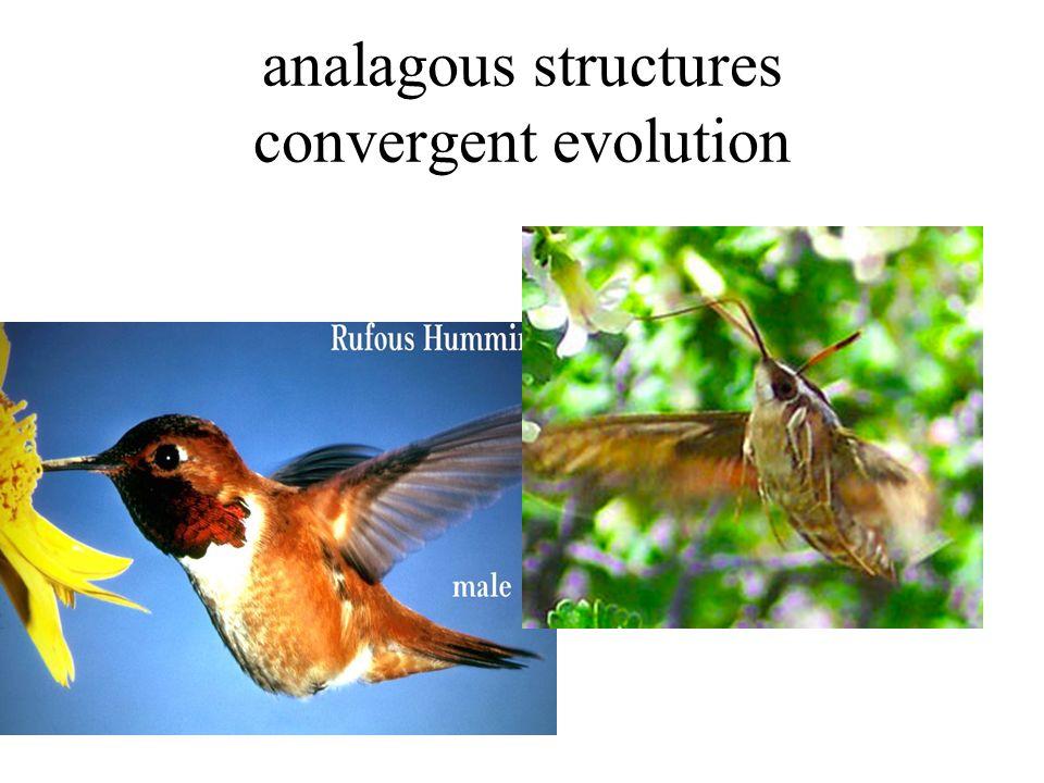 analagous structures convergent evolution