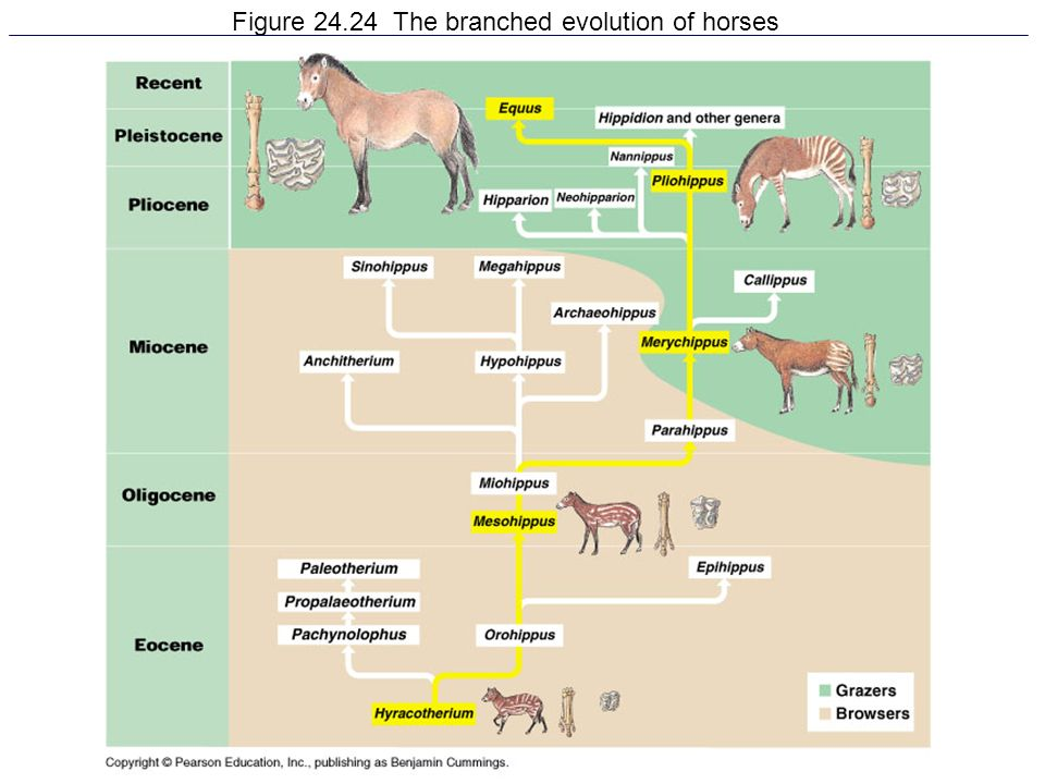 Figure 24.24 The branched evolution of horses