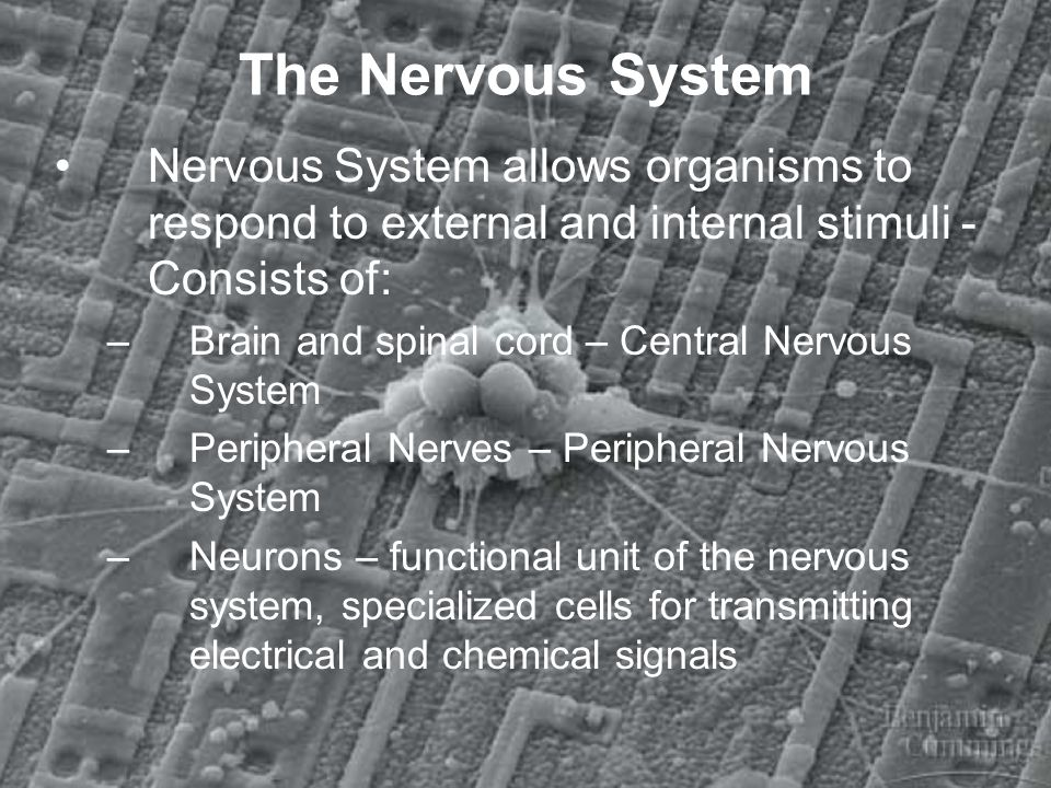 The Nervous System Nervous System allows organisms to respond to external and internal stimuli - Consists of:
