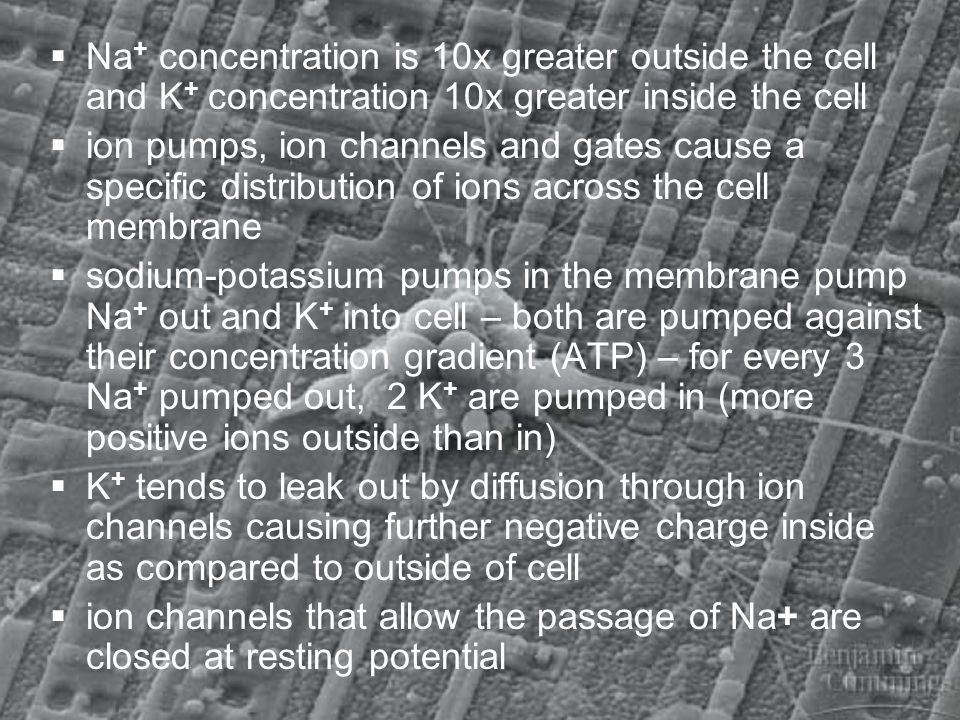 Na+ concentration is 10x greater outside the cell and K+ concentration 10x greater inside the cell