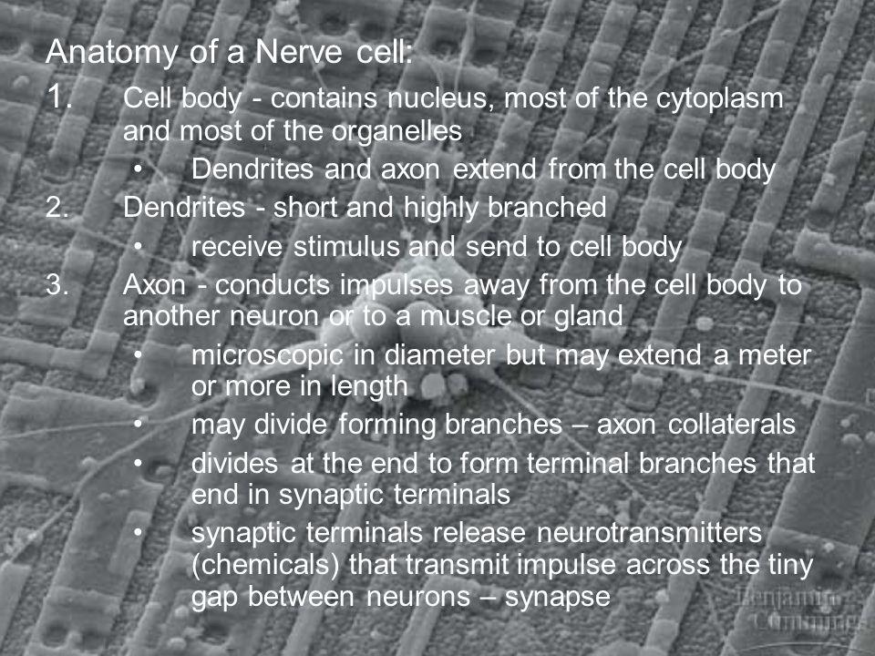 Anatomy of a Nerve cell: