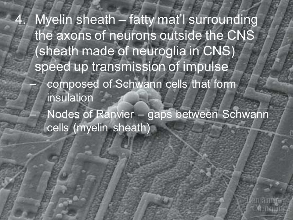 4. Myelin sheath – fatty mat'l surrounding the axons of neurons outside the CNS (sheath made of neuroglia in CNS) speed up transmission of impulse
