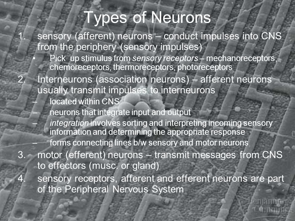 Types of Neurons sensory (afferent) neurons – conduct impulses into CNS from the periphery (sensory impulses)