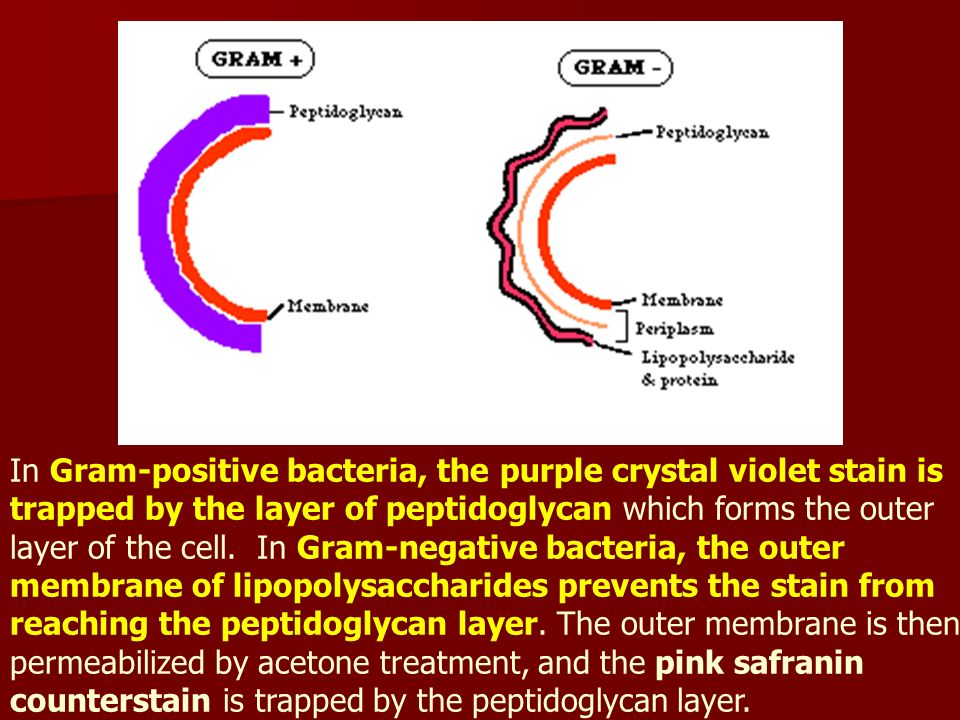 In Gram-positive bacteria, the purple crystal violet stain is