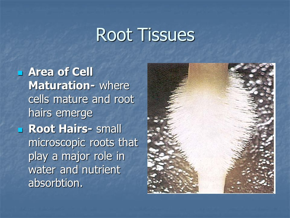 Root Tissues Area of Cell Maturation- where cells mature and root hairs emerge.